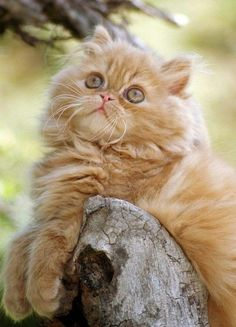 Beautiful Kitten - Dreamy Eyes