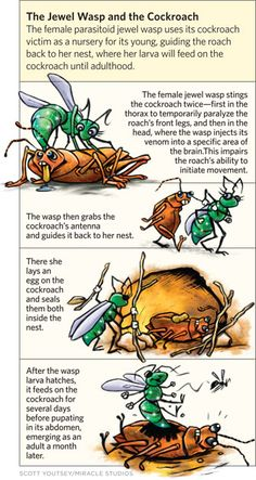 Parasite mind control -- fungi that take over tarantulas and ants etc  01_12_JewelWasp_and_Cockroach