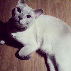 가슴으로낳은놈1 🐨 #愛猫#息子#トンキニーズ