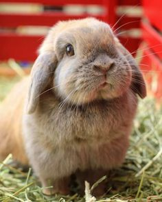Holland Lop, Rabbits, Fur Babies, Bunnies, Cute Animals, Chanel, Pictures, Baby, Dogs