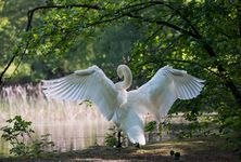 nature bird wing white flower wildlife fauna swan waterfowl egret heron water bird males ducks geese and swans Swan Wings, Bird Wings, Free Pictures, Free Images, Book Of Hours, Smiling Dogs, Guardian Angels, Self Discovery, Spirit Guides