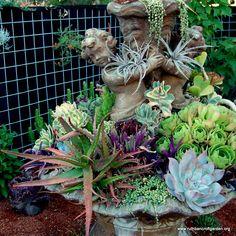 Stunning succulents dramatically arranged in an old fountain.  The Ruth Bancroft Garden / Walnut Creek, CA
