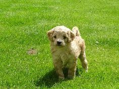 Cream Cavapoochon pup