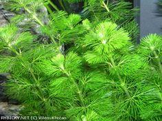 Cabomba caroliniana    © Vilém Křečan Aquarium, Herbs, American, Plants, Goldfish Bowl, Aquarium Fish Tank, Herb, Plant, Aquarius