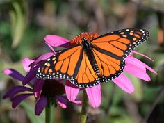 The Butterfly Highway is a statewide conservation restoration initiative that aims to restore native pollinator habitats to areas impacted by urbanization.