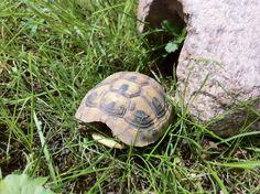 Grischische Landschildkröte