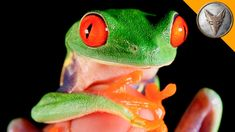 An Adorable Red Eyed Tree Frog Repeatedly Jumps Onto Coyote Peterson's Face