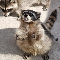 Although raccoons are cute and charming, they can be pests in your yard.