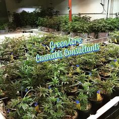 Mr. Vazquez (GreenAcre) visiting cultivation sites in Colorado. Mr. Vazquez took a group of investors to Colorado. Investors are learning from the best in the cannabis industry. GreenAcre connects investors with cannabusiness opportunities!!! #greenacre #cannabis #medicalcannabis #medicalmarijuana #marijuana #cannabusiness #cannaventure #cultivation #weed #weedstagram #weedgram #coloradoweed #colorado #denver #entrepreneur #business #cannabisconsultant #weedlife #weedgram #weeddaily #weed…
