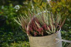Máme pre vás tipy, ako pestovať vresy a ako ich aranžovať Pesto, Plants, Plant, Planets