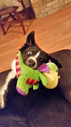 Sky with his dragon. ♡ my border collie