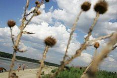 Ciulinii Bărăganului Dandelion, Flowers, Plants, Dandelions, Florals, Plant, Flower, Bloemen, Planting