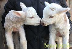 Tumbleweed & Ringo. Our twin Gulf Coast Sheep lambs!