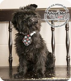 URGENT!  I am at a kill shelter in Troy, OH - Schnauzer (Standard)/Shih Tzu Mix. Meet Toby a Dog for Adoption.