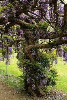 *want** Wisteria Tree. Just stake your Wisteria & keep it pruned back each year. The vine will eventually grow into a tree. I'd estimate this Wisteria tree to be over 20 years old. Beautiful Gardens, Beautiful Flowers, Beautiful Places, Beautiful Pictures, Wisteria Tree, Wisteria Garden, Purple Wisteria, Chinese Wisteria, Purple Flowers