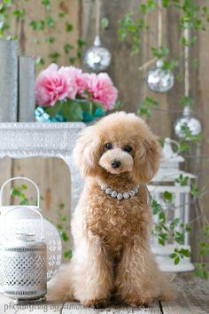Japanses poodle fashion