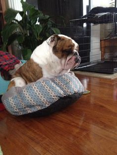 ❤ Spike is pouting after his bath and his beds are being washed ❤ Posted on Bulldog Pics