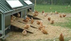 gallinas-ecologicas