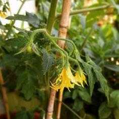 Die Tomaten wachsen...❤️💚