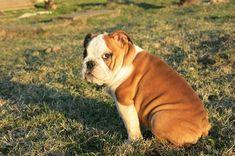 Discover The Bulldog Dog Grooming British Bulldog, French Bulldog, English Bulldogs, Funny Feeling, Dog Facts, Bulldog Puppies, Go Outside, Dog Grooming, Dog Life