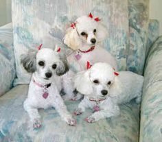 toy poodles.  The one on the far left could be Maggie!