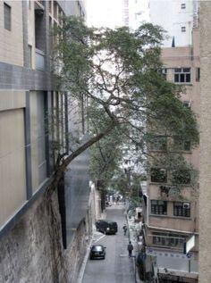 A Tree grows in Brooklyn?