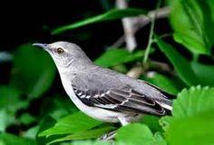 The State Bird of Texas (birds ). Photo by sneedjazz