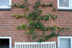 Både æble- og pæretræer er nemme at få til at vokse helt fladt op langs en mur. Betingelserne er, at der skal være sollyst og at jorden er god muldjord. Er der bare sand eller grus langs husets sokkel, må jorden skiftes ud til en bedre – i mindst 60 cm's dybde. Træet plantes ca. 40 cm ude fra mur.beskæres et par gange hen over sommeren, og de tilbageværende grene bindes til wirerne.