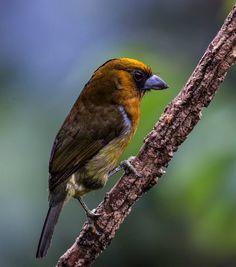 prong-billed barbet (Semnornithidae: Semnornis frantzii), Central America. Photo: Shunda Lee
