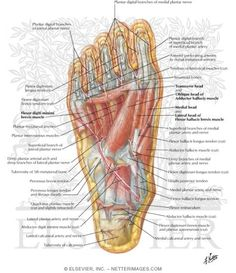 images about anatomy of the foot on pinterest   foot anatomy    foot anatomy muscles bottom fa