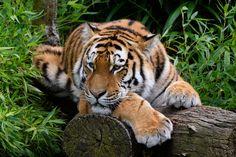 Tiger - Fedor Resting by Stormcoast Fortress Enterprises