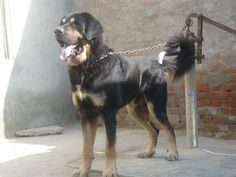 hortaya borzaya hound photo   Himalayan Sheepdog Dog   Dog Pictures