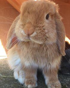#throwback to baby Pickle #petstagram #bunnies #rabbits #pets #pet #rabbitsofinstagram #pets_of_instagram #bunny #bunnylove #usagi #rabbit #instabunny #bunniesofig #cute #rabbitstagram #bunniesofinstagram #instarabbit #bunnycuddles #weeklyfluff #rabbitaccount #bunniesworldwide #houserabbit #bunnyaccount #cutebunny #hollandlop #petsofinstagram #bunnyworld #bunnyrabbit #fabbunnies by mybunnyposts