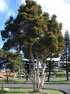 paperbark - Melaleuca quinquenervia