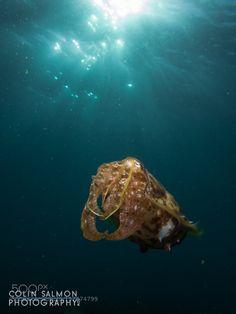 Cuttlefish by coooliiin #nature #photooftheday #amazing #picoftheday #sea #underwater