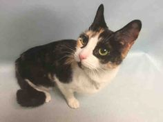 Safe7-13-2016 Manhattan  Rescue: Happy Homes Please honor your pledges: www.happyhomesinc.org A1078317 – MANDYMANHATTAN CENTER  MANDY – A1078317  FEMALE, CALICO, DOMESTIC SH MIX,2 yrs OWNER SUR – EVALUATE, NO HOLD Reason PERS PROB Intake condition UNSPECIFIE Intake Date 06/21/2016, From NY 10457, DueOut Date 06/21/2016,