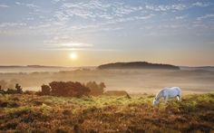 White horse grazing on Latchmore Bottom at dawn, view from Dorridge Hill, The New Forest National Park, Hampshire, England.  Picture: Guy Edwardes.