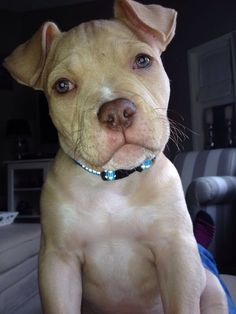 Onze GaZz( american Bully) Cute Puppies, Cute Dogs, Dogs And Puppies, Cute Baby Animals, Funny Animals, American Bully, Nanny Dog, Homemade Dog, Pit Bulls