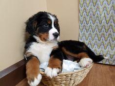 Bernese Mountain Dog, my dream cuddle/inside dog Super Cute Puppies, Cute Baby Dogs, Cute Dogs And Puppies, Big Dogs, Cute Baby Animals, I Love Dogs, Funny Animals, Doggies, Cute Dogs Breeds