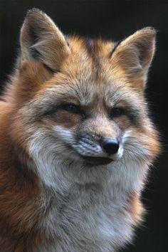 ..Furry Fox iPhone Wallpaper..