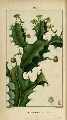 Flore medicale - Euphorbe des anciens