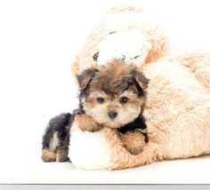 morkie puppy. too cute :)--we have 2 one is this coloring and one is all black..super cute and super spoiled :)