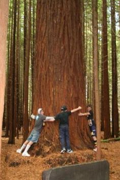 redwood forest - Google Search