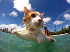 On connait bien les chiens surfeurs mais un peu moins les chats. Et bien, c'est chose faite.