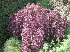 18. Perilla frutescens var. crispa Herbaceous Border, Burgundy Color, Hyde, Color Themes, Gardens, Plants, Maroon Color, Planters, Tuin
