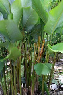 Calathea lutea 'Gold'. Pflanze für den schattigen Standort. Calathea mag absolut keine Sonne.