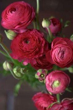 bride's bouquet: red or magenta ranunculus My Flower, Fresh Flowers, Beautiful Flowers, Cactus Flower, Exotic Flowers, Simply Beautiful, Purple Flowers, Prettiest Flowers, Colorful Roses