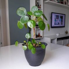 Paddle Plant, Plants, Chinese Plants, Hanging Pots, Landscaping Design, Appliance Cabinet, Small Gardens, Home Decor, Succulents