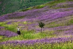 "Azerbaijan, Lerik District, June 1, 2011 A local man rides a horse through a field of wildflowers in the foothills of the mountain in Lerik, a district in southern part of Azerbaijan, near the Iranian border. This mountainous area has earned a reputation as the ""home of people who live to a greatage.""   #Azerbaijan #Eleganceoffire #Rezaphoto"