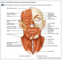 Facial Muscles Anatomy, Muscle Anatomy, Yoga Facial, Nursing School Notes, Skin Care, Makeup, Face, Studying, Lily
